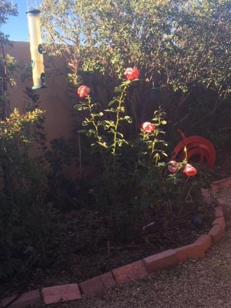 Susan's roses!